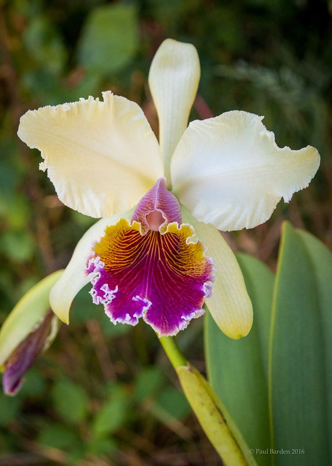 Cattleya King George