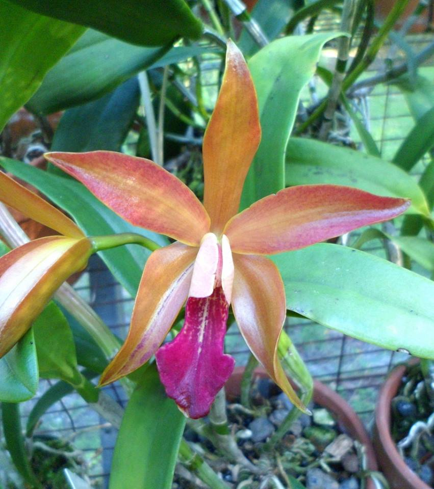 Cattleya Sunburst