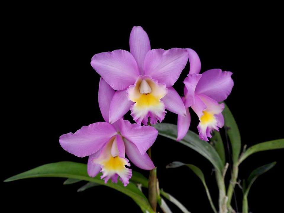 Cattlianthe Candy Tuft