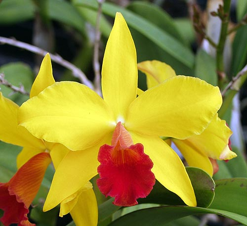Cattleya California Apricot