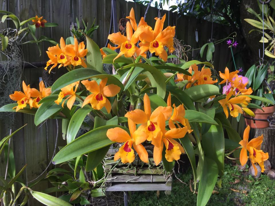Cattlianthe Gold Digger