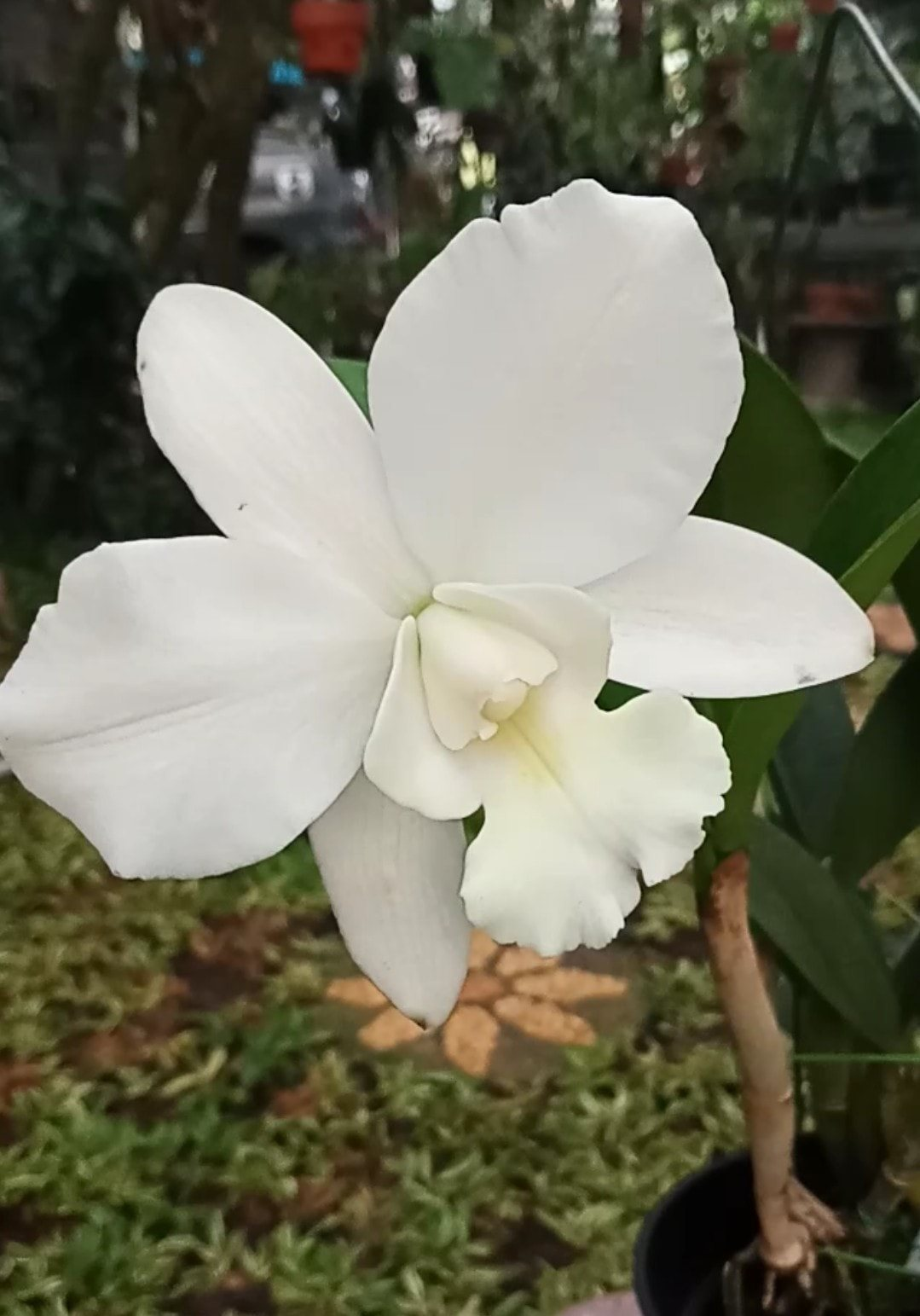 Cattlianthe White Bridal
