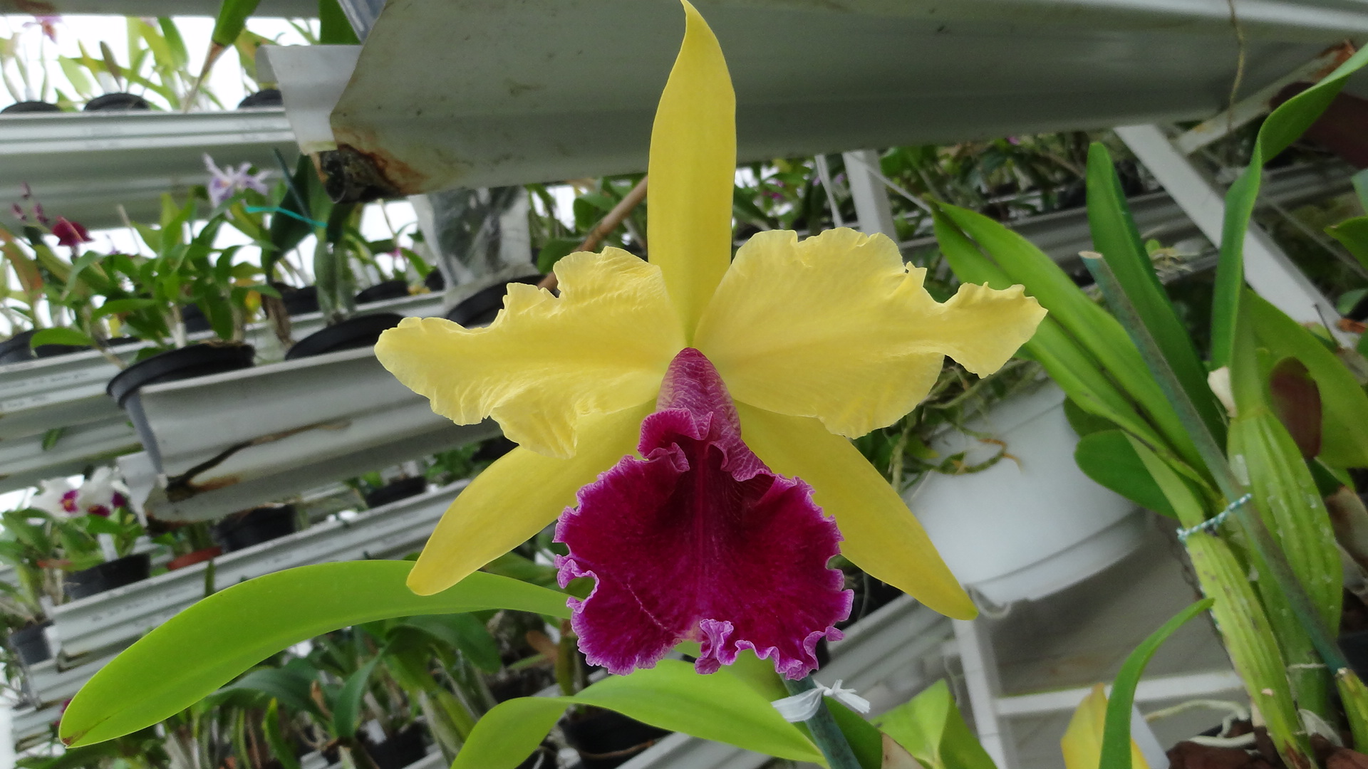 Cattleya Luminosa