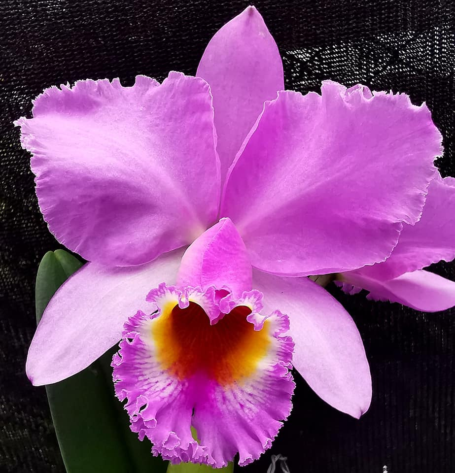 Cattleya Lord Rothschild
