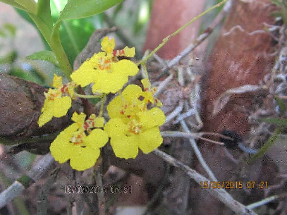 Orchid Species Tolumnia quadriloba
