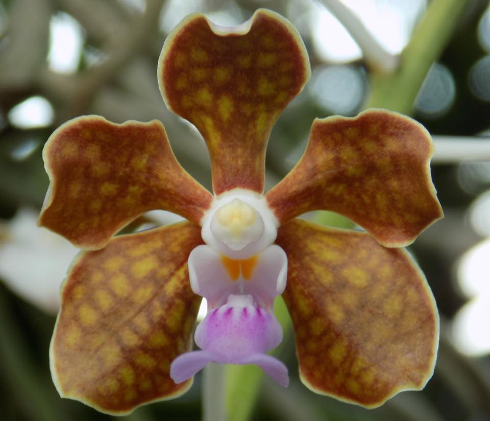 Orchidroots Vanda Limbata Maria Teresa Ramirez Francisco Mari Lassalle