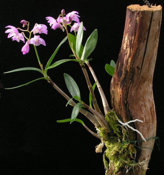 Orchidroots