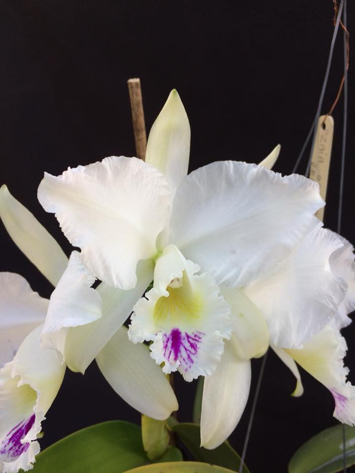 Cattleya warneri
