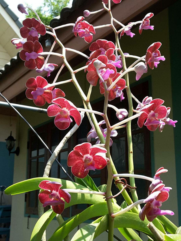 Orchidroots Vanda Limbata Bensonii Somsak Jitsupha