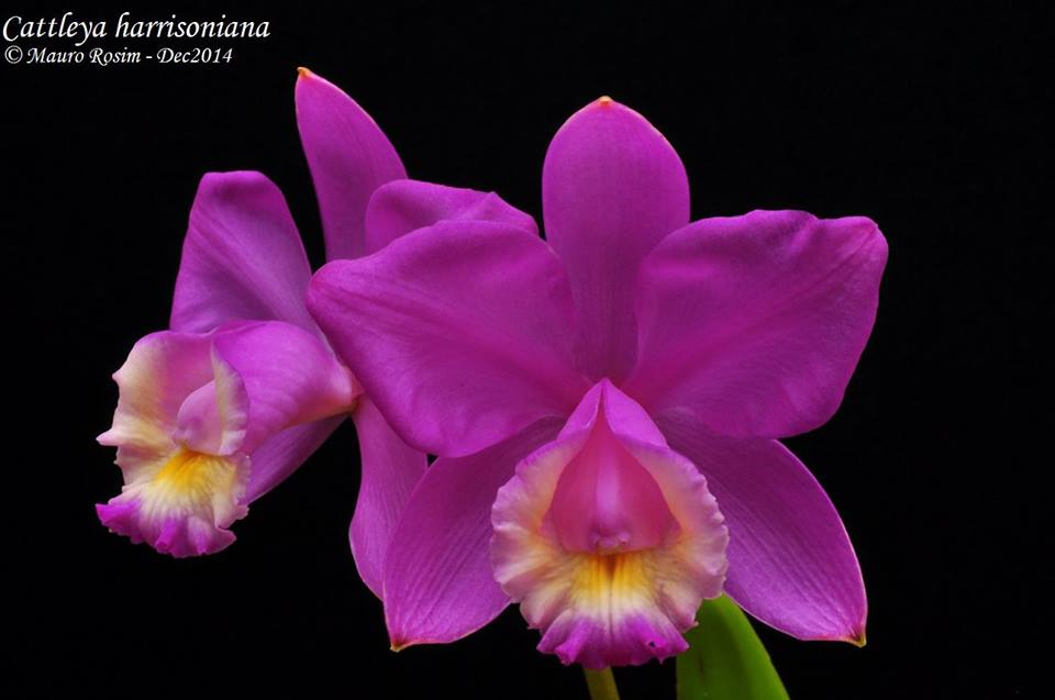 Cattleya harrisoniana