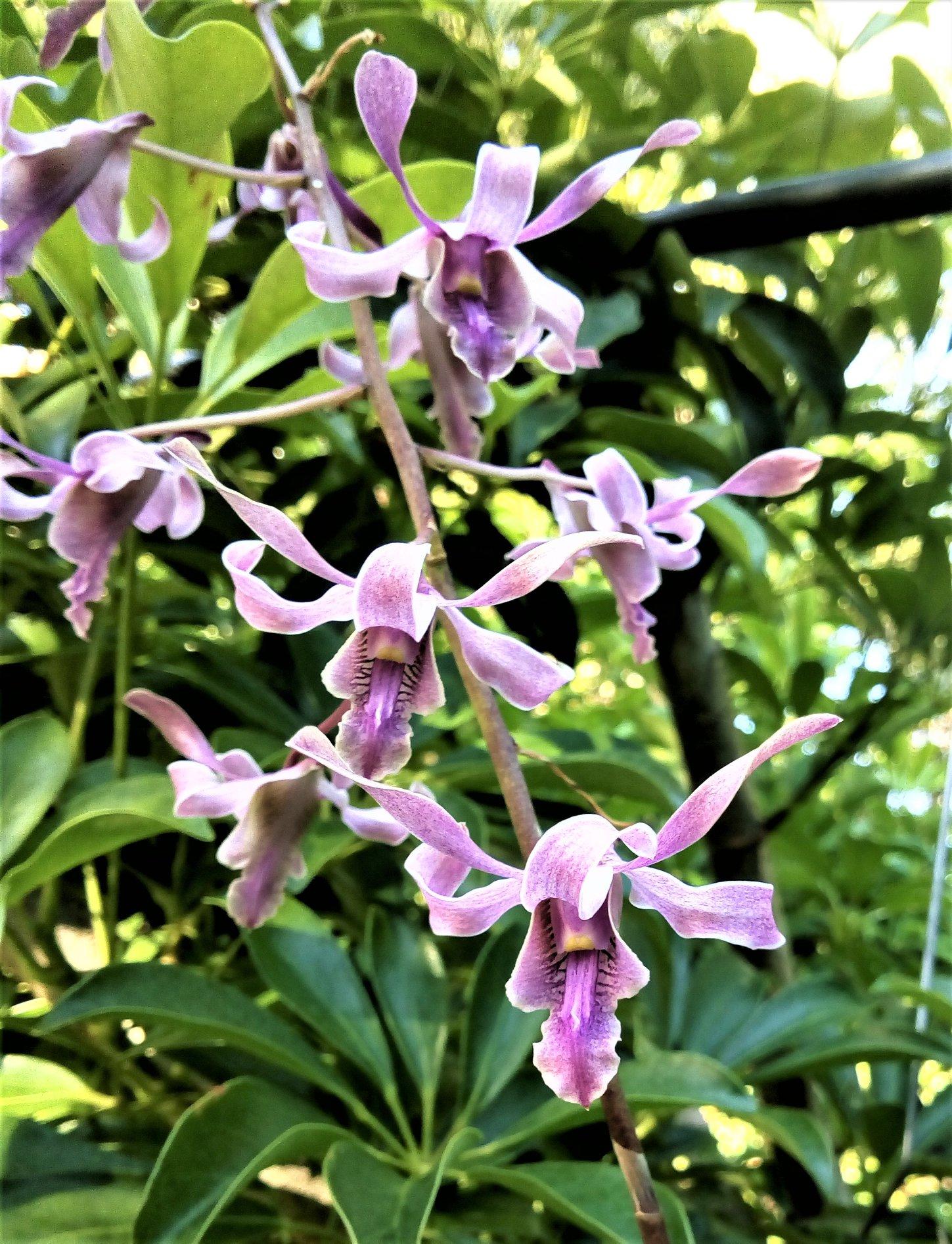 Dendrobium Lineale