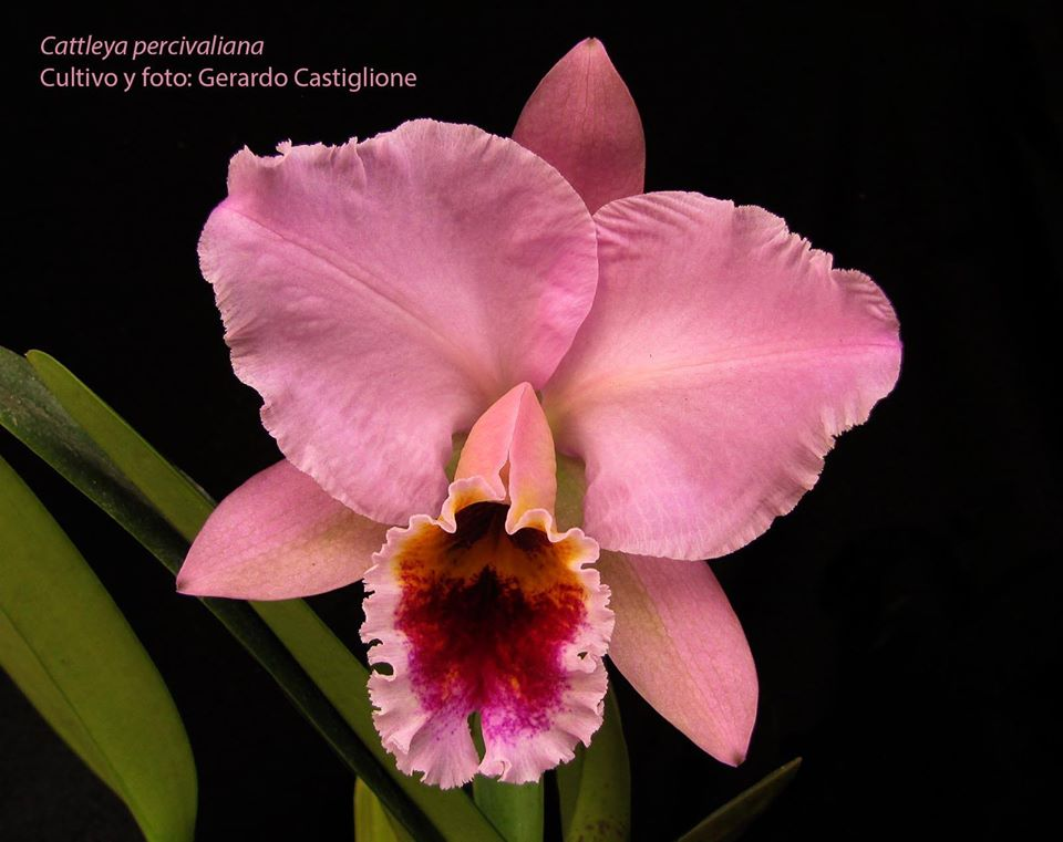 Cattleya percivaliana