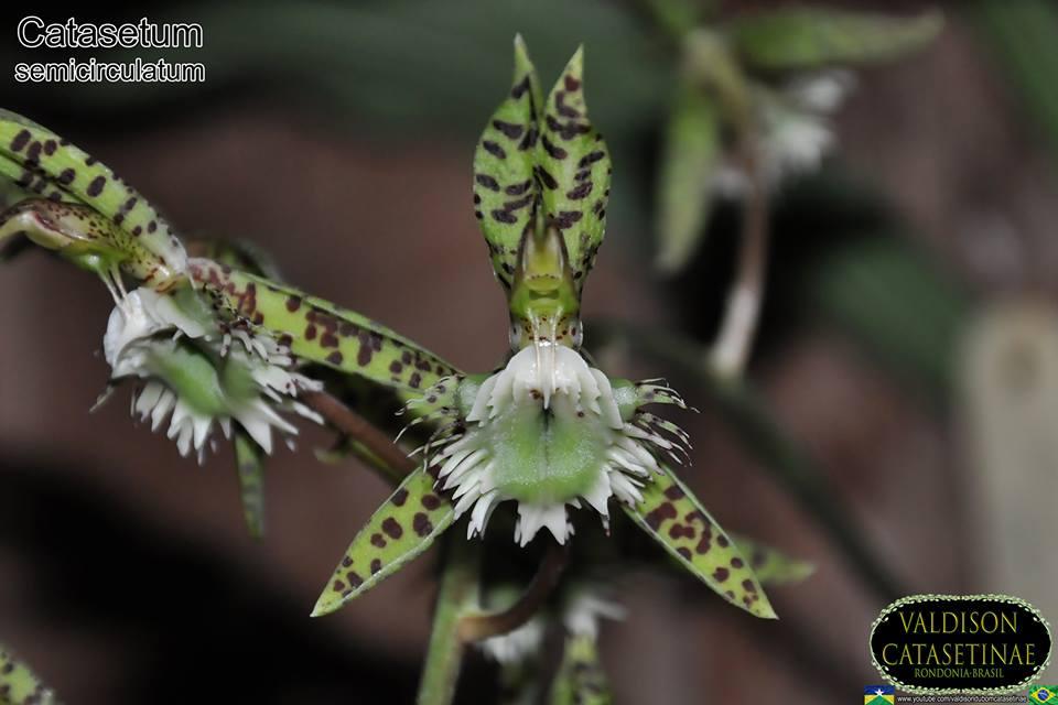 semințe de măcrat cu varicoză